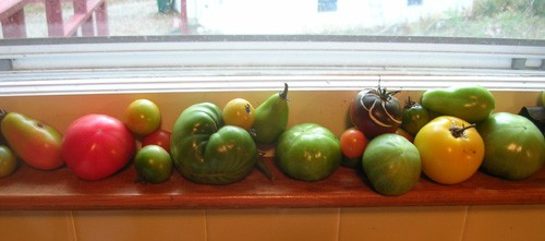 Tomatoes in the window