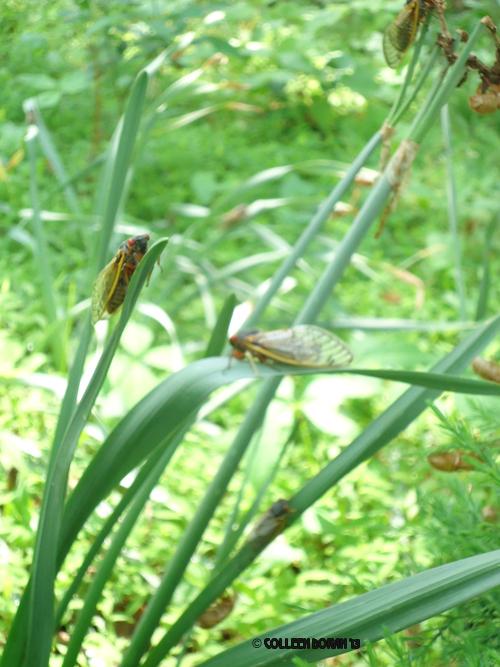 cicadas-3