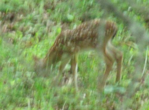 bambi-june