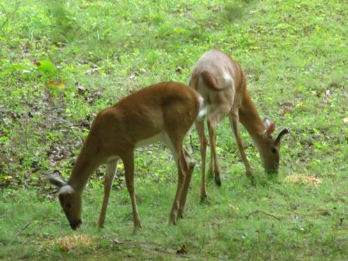 more-deer